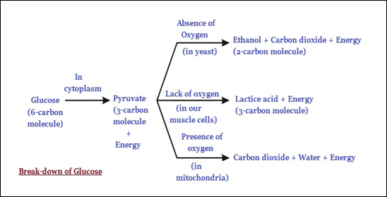 Biology respiration break down of glucose during cellular respiration ccuart Images