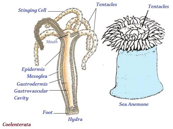 Image of: Porifera Hydra And Sea Anemone Are The Common Example Of Coelenterate Tutorialspoint Biology Animalia Kingdom