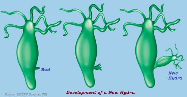 Image result for asexual reproduction hydra
