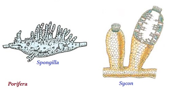 Image of: Diversity The Organisms Of Porifera Are Nonmotile And Attached To Some Solid Support Tutorialspoint Biology Animalia Kingdom