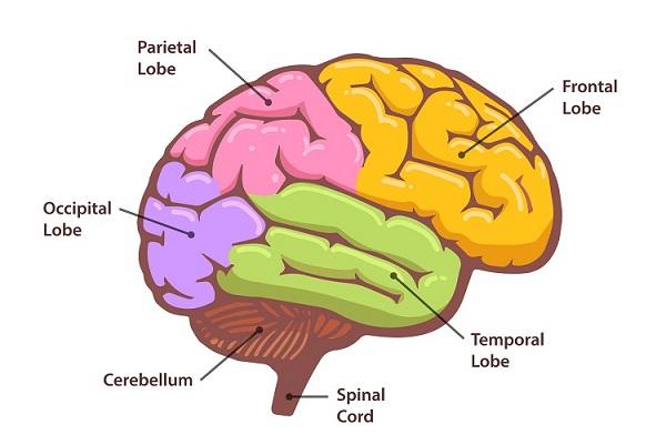 Biology Human Brain
