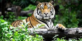 Save Tiger Protection Force