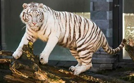Bajirao White Tiger