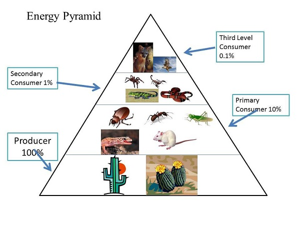 Environmental Studies Ecological Pyramid
