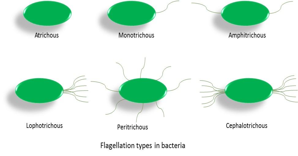 Simple Prokaryotic Cell Diagram Some Prokaryotes Don39t Even