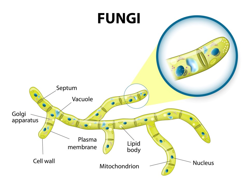 Fungi     Structure and growth