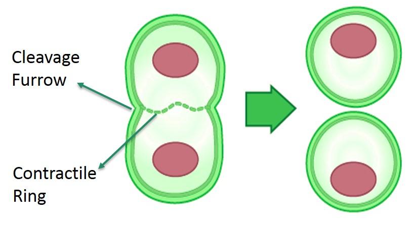 Mitosis Cytokinesis