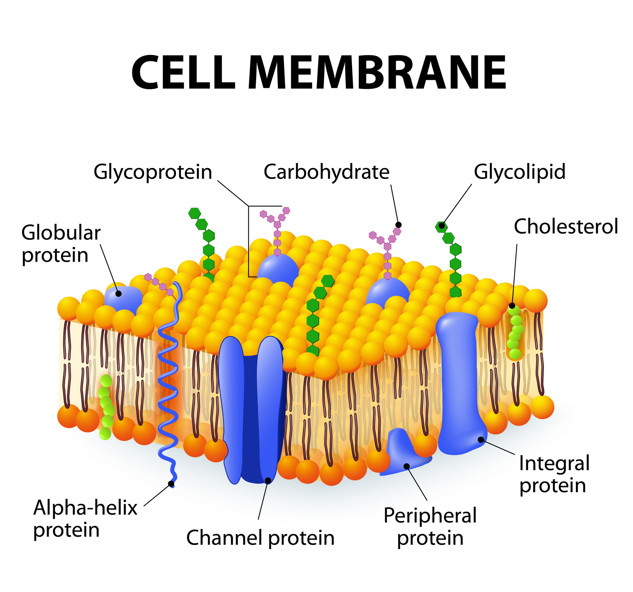 eukaryotes cell membrane composition