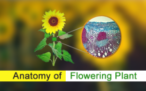 Anatomy of Flowering Plant Hindi Tutorial Image